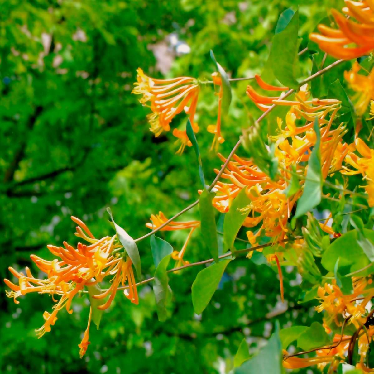 Orange-yellow honeysuckle, a fragrant climbing vine