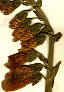 Dried foxglove flower set in a herbarium by children