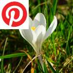 Picture related to Crocus overlaid with the