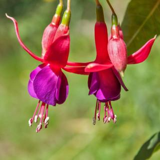 Fuschia plant flowers