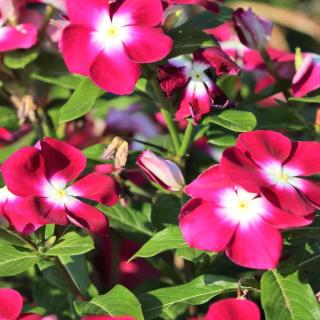 Red Madagascar Periwinkle with white halo