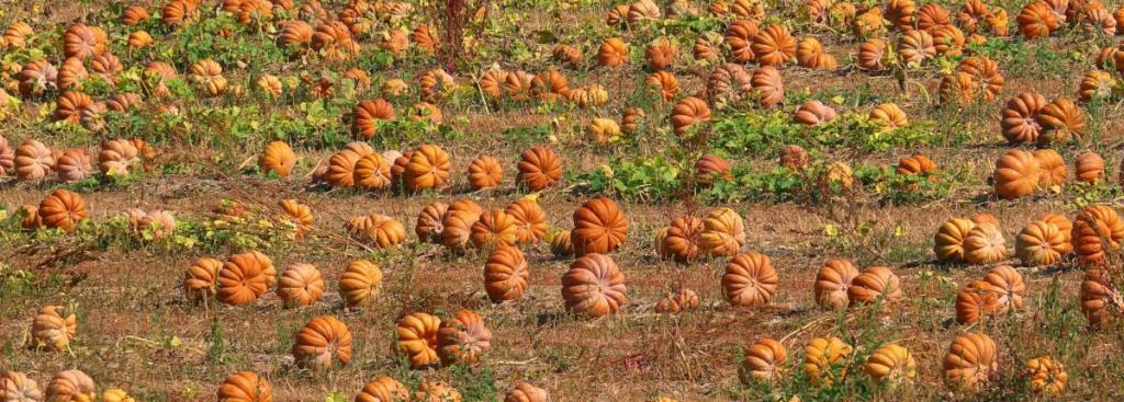Pumpkin field with lots of pumpkins
