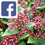 Picture related to Skimmia japonica overlaid with the