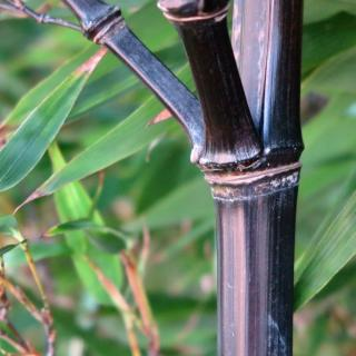 Black bamboo for the garden