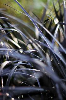Black grass growing in a garden