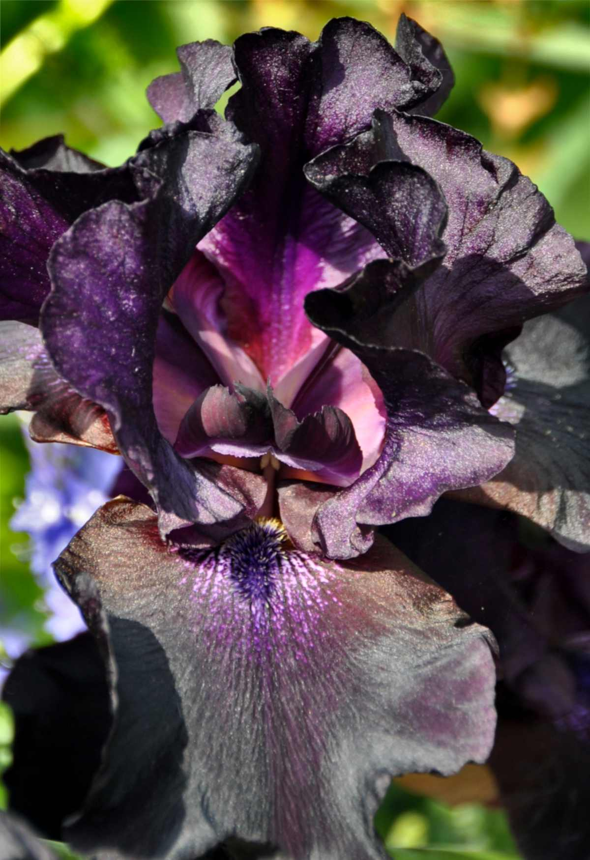 Black plants, here an iris, for the garden