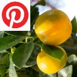 Picture related to Calamondin overlaid with the