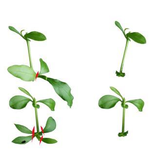 Plumbago cuttings prepared and cut