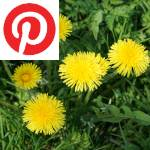 Picture related to Dandelion overlaid with the