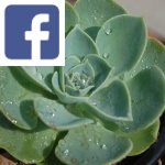 Picture related to Echeveria overlaid with the
