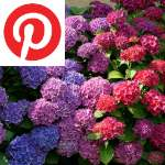 Picture related to Hydrangea overlaid with the
