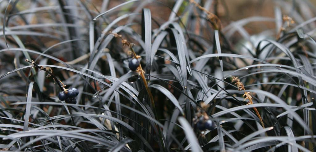 Clump of Ophiopogon planiscapsus nigrescens bearing fruit, black leaves.