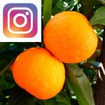 Picture related to Orange tree overlaid with the