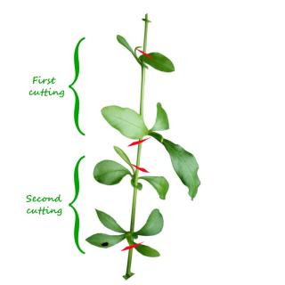 Diagramme showing how to cut plumbago cuttings