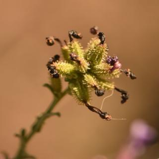 Plumbago seed cluster ripening up