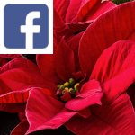 Picture related to Poinsettia overlaid with the