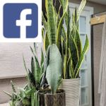 Picture related to Sansevieria overlaid with the
