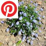 Picture related to Blue soap bush overlaid with the