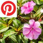 Picture related to Sunpatiens overlaid with the
