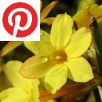 Picture related to Winter jasmine overlaid with the