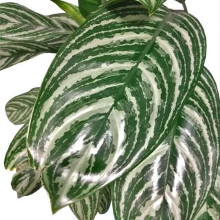 Aglaonema leaves, shiny and lush