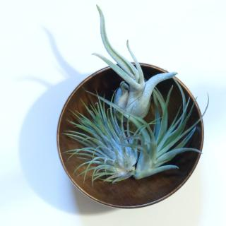 Air plants in a bowl, three of them.