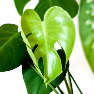 Monstera leaf shaped like a heart