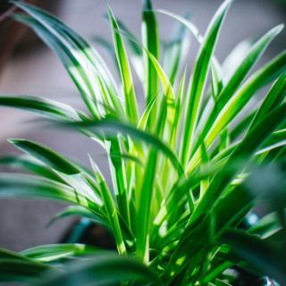 Lush backlit Chlorophytum plant in a bathroom