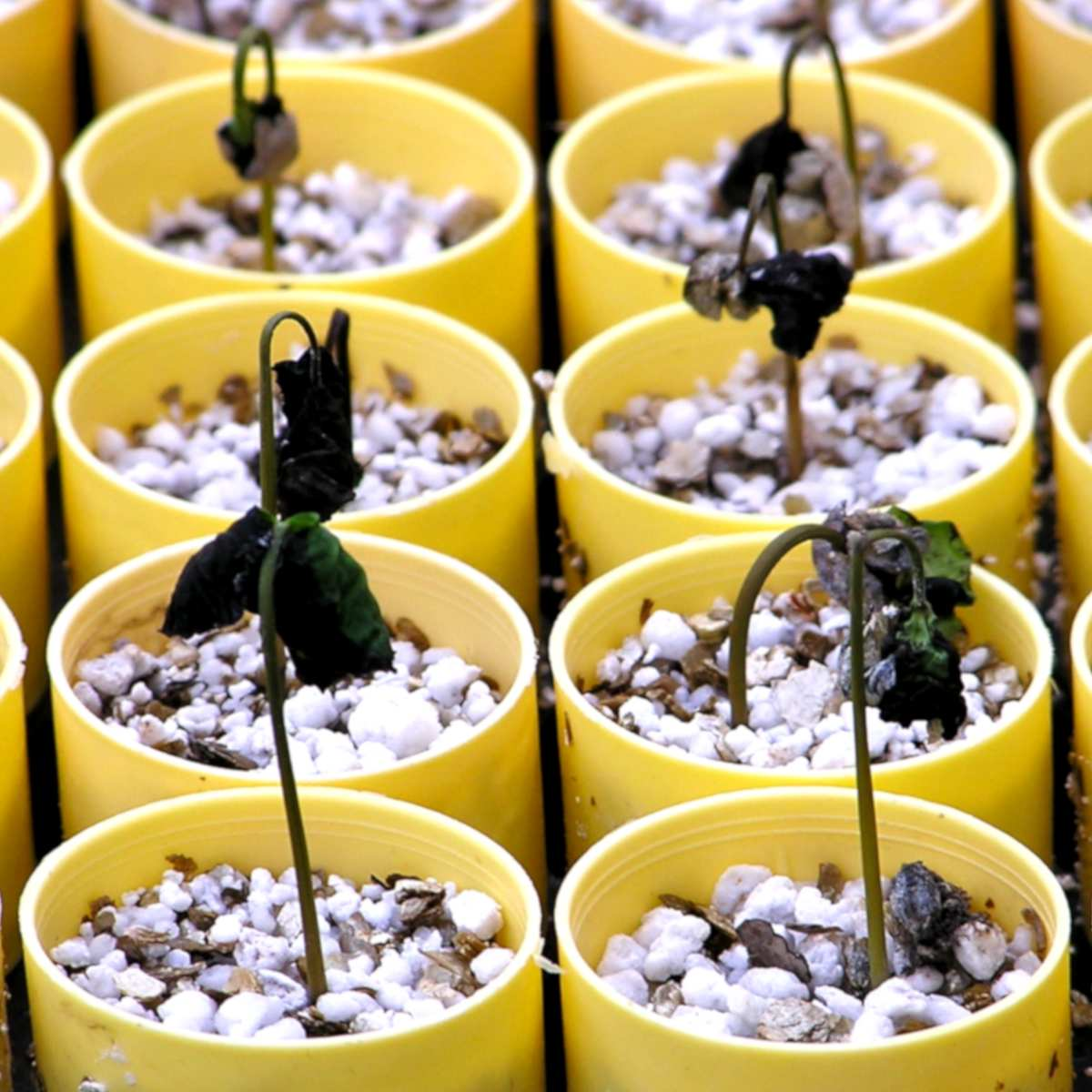 Coffee seedlings dying from damping off.