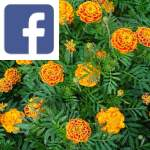 Picture related to French marigold overlaid with the