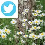 Picture related to Lawn daisy overlaid with the