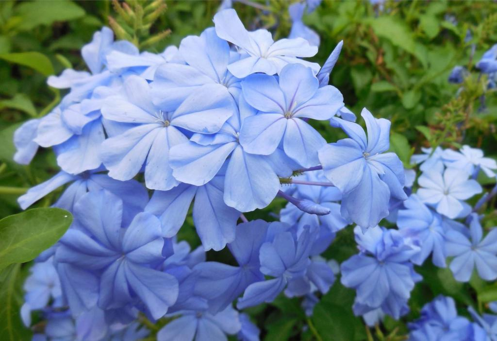 Care for the Monott plumbago variety