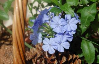 Blue plumbago Escapade in a basket