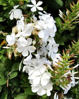 Blooming white Plumbago Escapade
