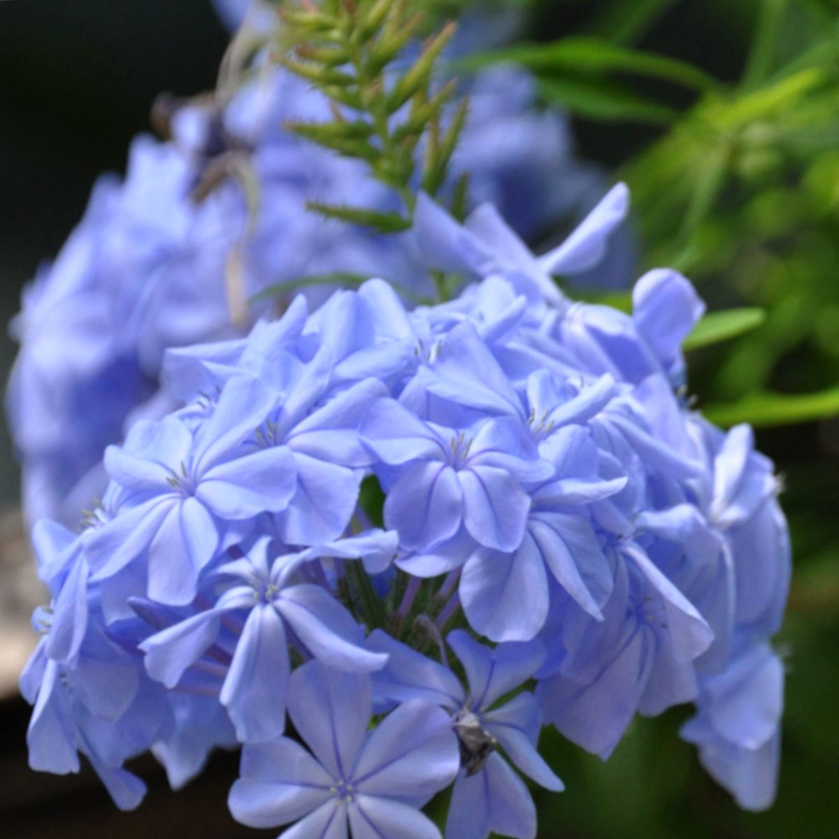 Cluster of flowers on a blue Plumbago auriculata Monott