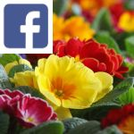 Picture related to Primrose overlaid with the Facebook logo.
