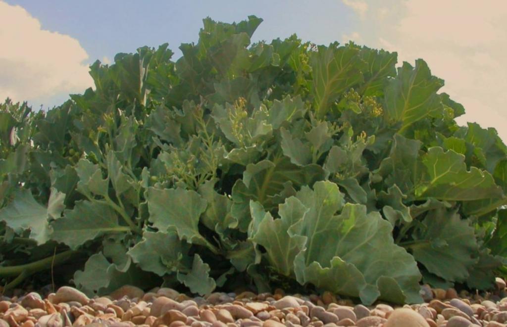 Clump of sea kale leaves
