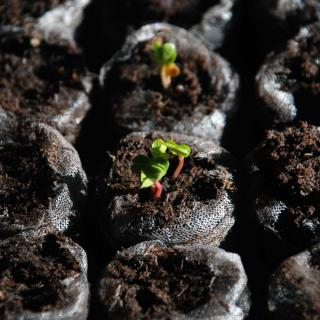 Seedlings of radish, healthy, in small sowing cubes.