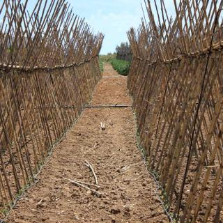 A row of a-frame tomato stakes, also called v-frame or X-frame.