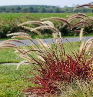 Purple grasses with seed panicles in the wind.
