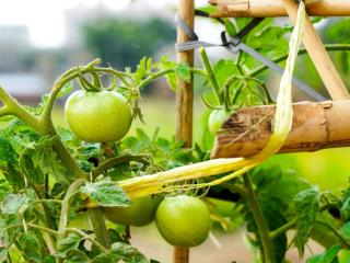 Tomato plants with a makeshift tie and stake