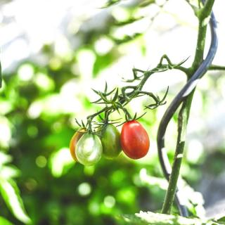 A tomato bearing fruit, tethered to a spiral tomato stake.