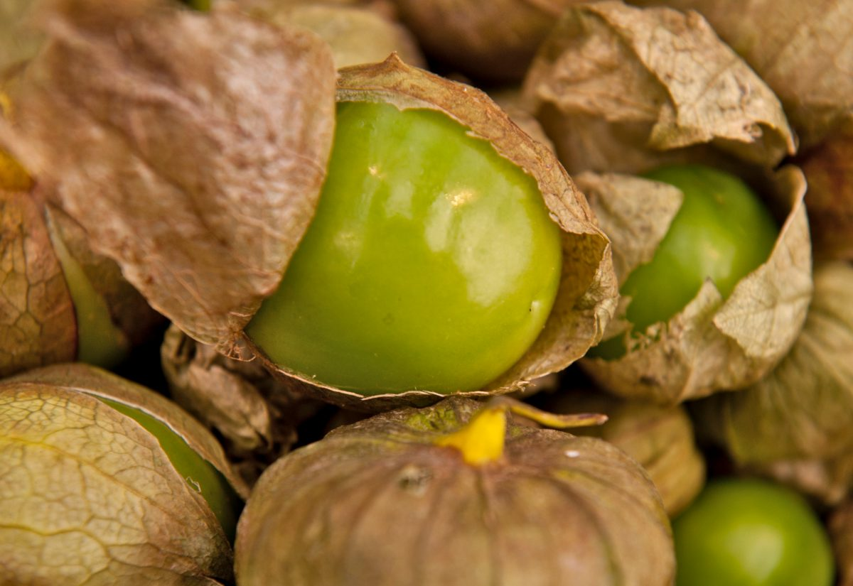Green tomatillo fruits from growing the plant
