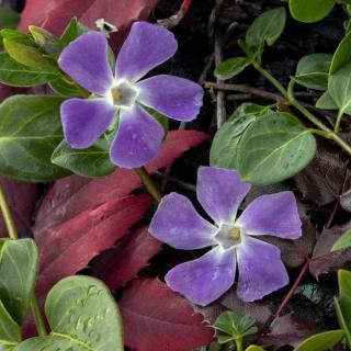 Two vinca flowers near mahonia leaves.
