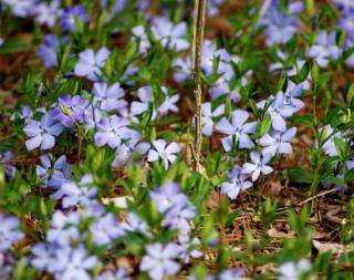 Vinca is excellent for ground cover.