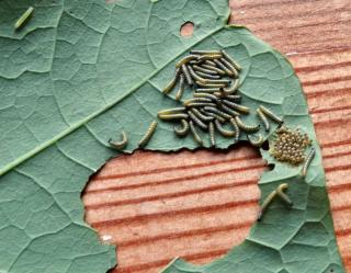 Eggs and young caterpillars of the cabbage moth on a nasturtium leaf