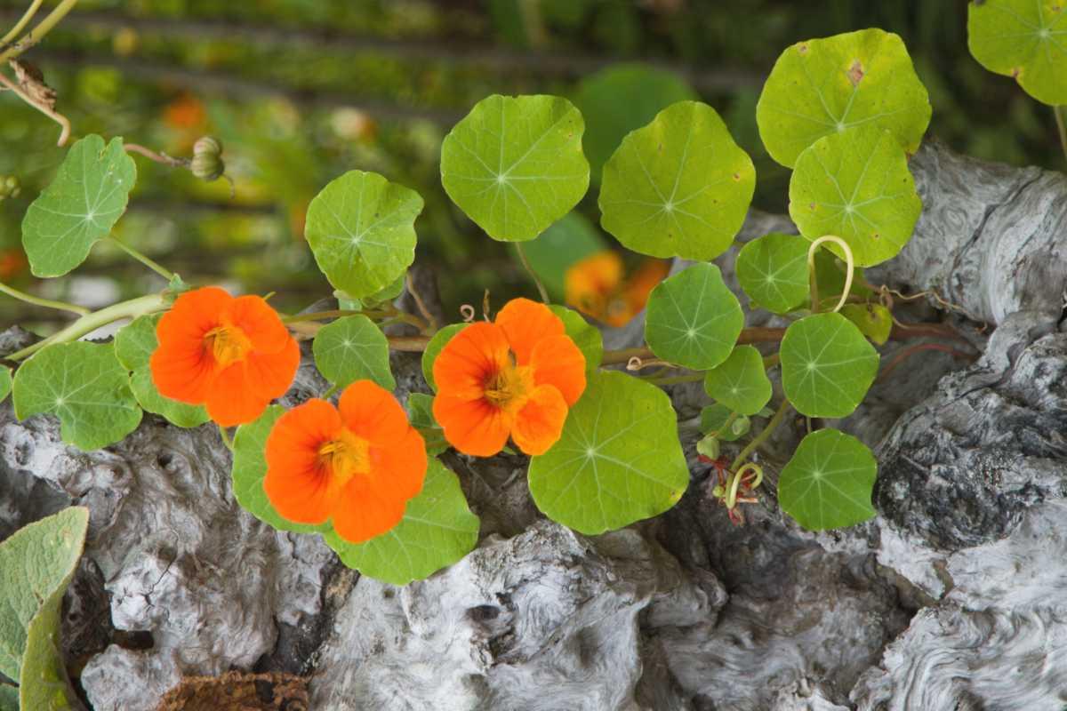 Climbing nasturtium, easy flowers