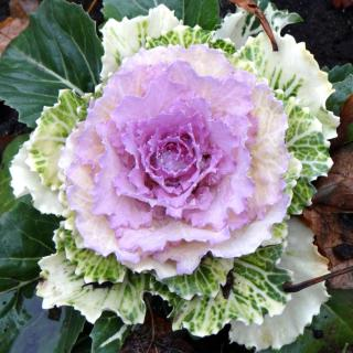 Ornamental cabbage under shade