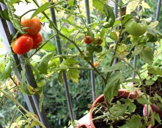 Tomato growing and ripening in a pot