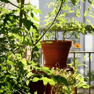Tomato plants with lush leaves growing in a pot on a balcony